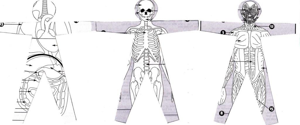 ribambelle anatomique 1