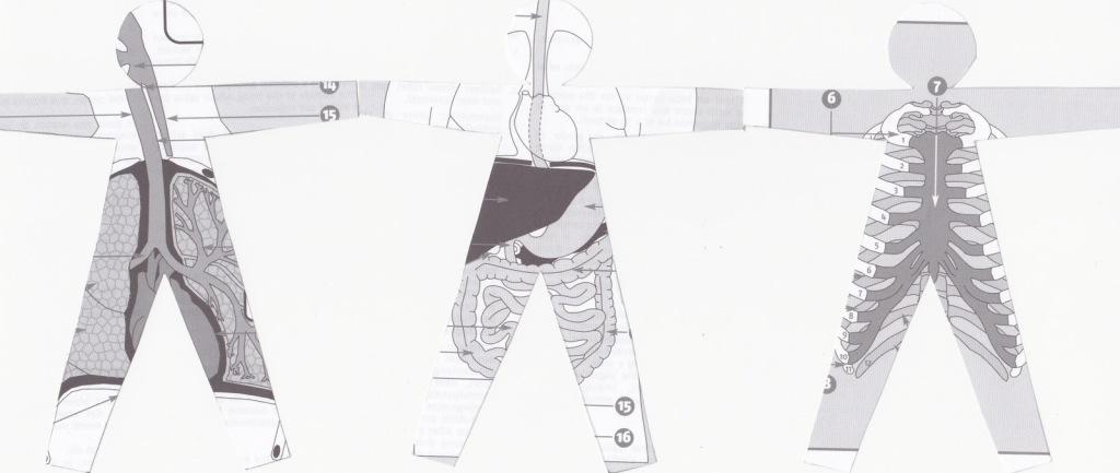 ribambelle anatomique 3